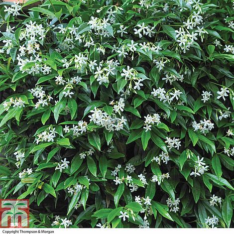 trachelospermum jasminoides plants thompson morgan. Black Bedroom Furniture Sets. Home Design Ideas