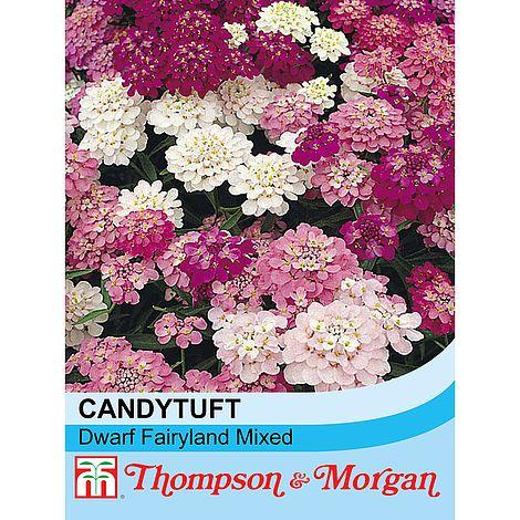 500 Candytuft Seeds Dwarf Mix