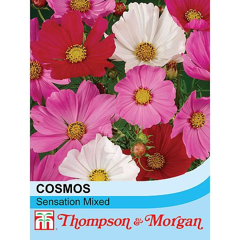how to grow cosmos sensation from seed
