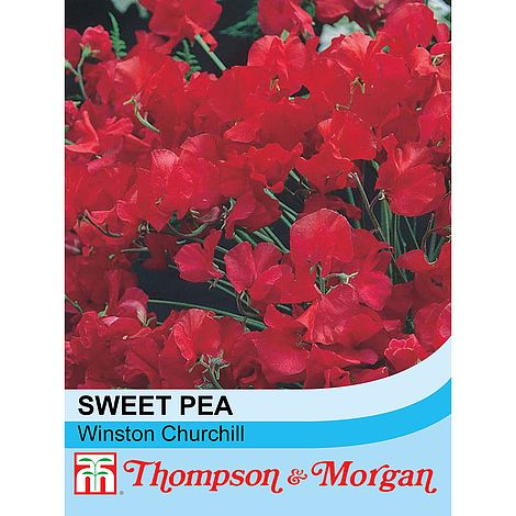 20 seeds Sweet Pea /'Winston Churchill/'