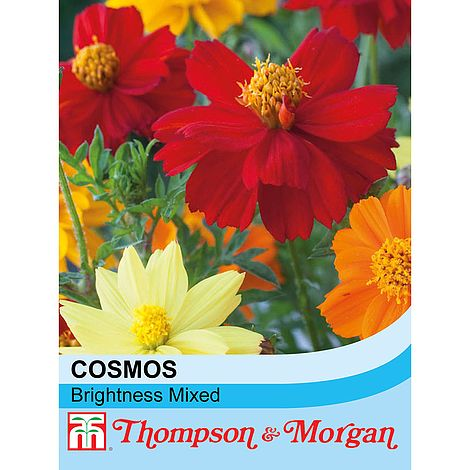 100 Seed Cosmos All Sorts Mixed Flowers Thompson /& Morgan