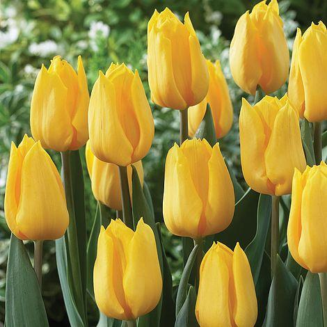 Tulip yellow flight thompson morgan mightylinksfo