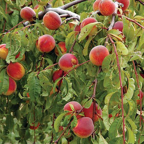 Peach 39 lacrima 39 weeping thompson morgan for The peach tree