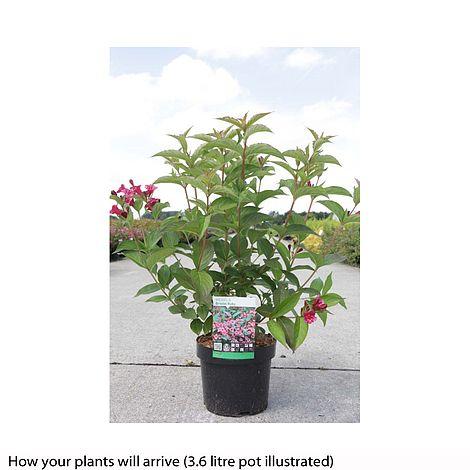 weigela 39 bristol ruby 39 plants thompson morgan. Black Bedroom Furniture Sets. Home Design Ideas