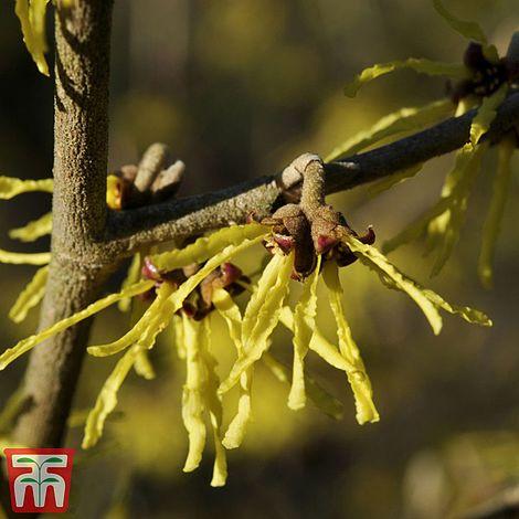 "Hamamelis x intermedia Arnold Promise-Witch Hazel Plant in 3.5/"" pot"