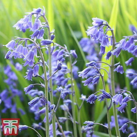 "In The Green English Bluebells Bulbs 120 "" Hyacinthoides Non Scripta"""