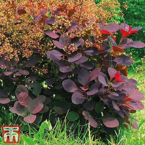 Cotinus coggygria 'Royal Purple' plants | Thompson & Morgan