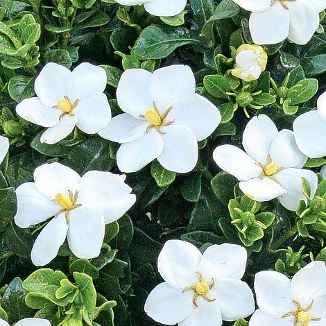 Gardenia Jasminoides Kleim S Hardy Plants Thompson Morgan