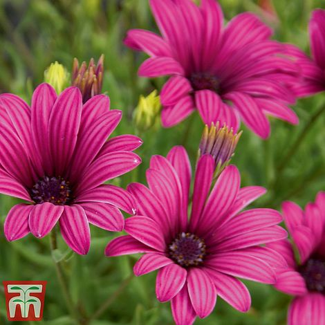 Hardy Osteospermum Osteospermum /'Tresco Purple/' plant in a 13cm pot