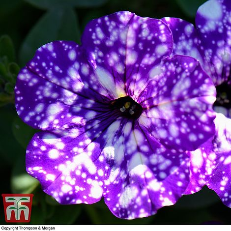 Petunia Night Sky Plug Plants Thompson Morgan