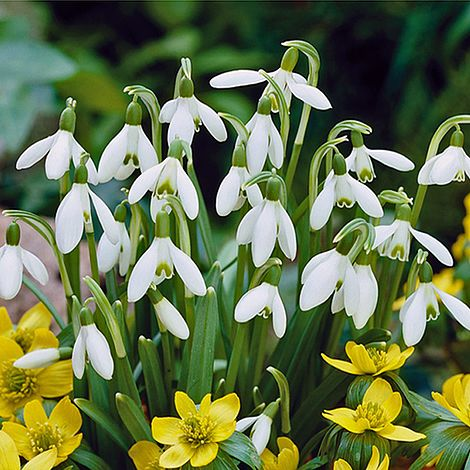 Snowdrop Single Flowered Thompson Morgan