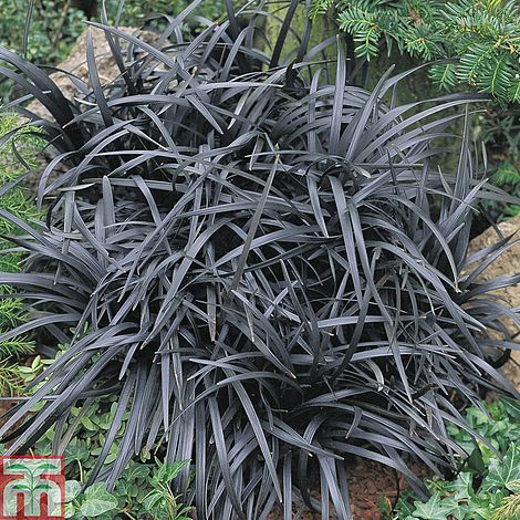 ophiopogon planiscapus 39 nigrescens 39 plants thompson morgan. Black Bedroom Furniture Sets. Home Design Ideas