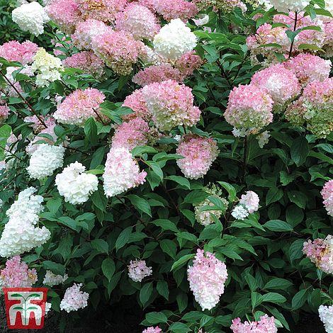 starter plant Hydrangea paniculata /'sunday fraise/'