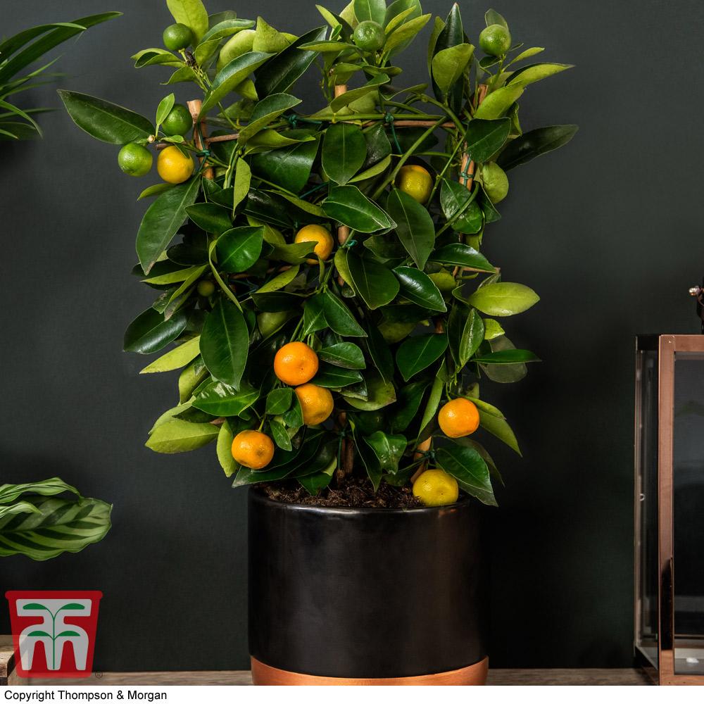Image of Calamondin Orange - Citrus Trellis (House Plant)