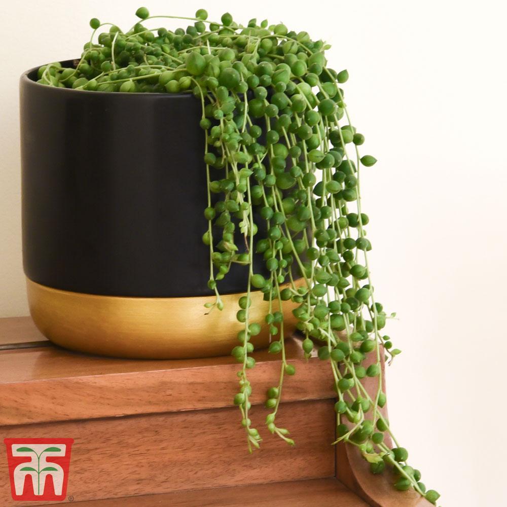 Image of Senecio 'String of Pearls' (House Plant)