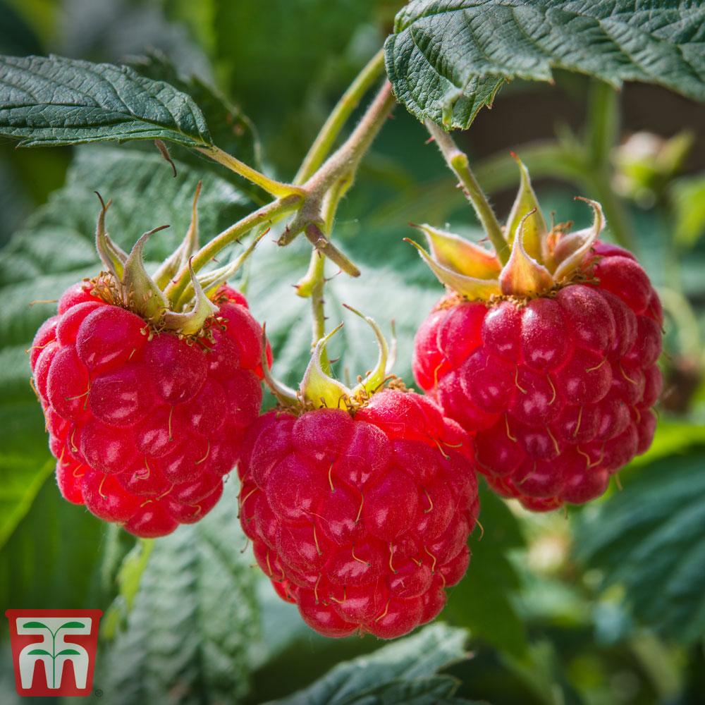 Image of Raspberry 'Heritage' (Autumn fruiting)