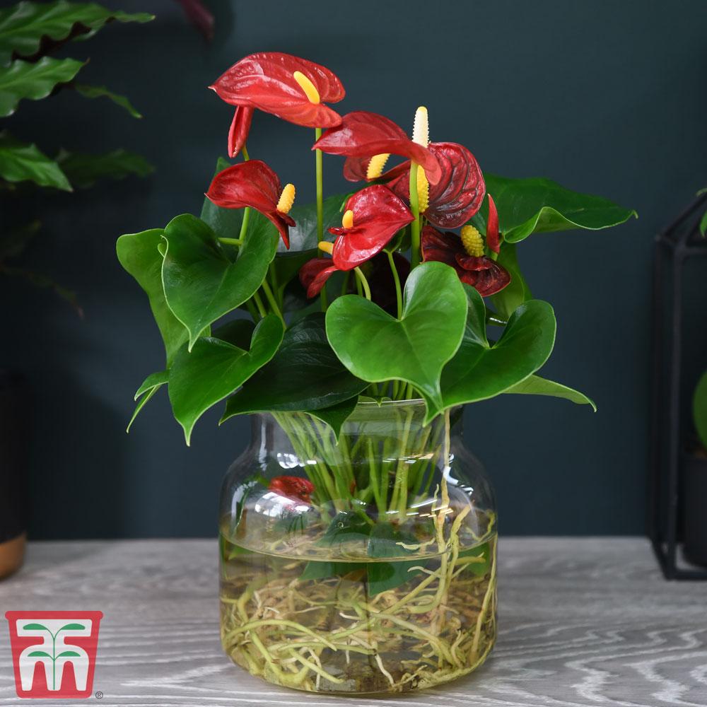 Image of Anthurium Aqua Red in Sierglass (House Plant)
