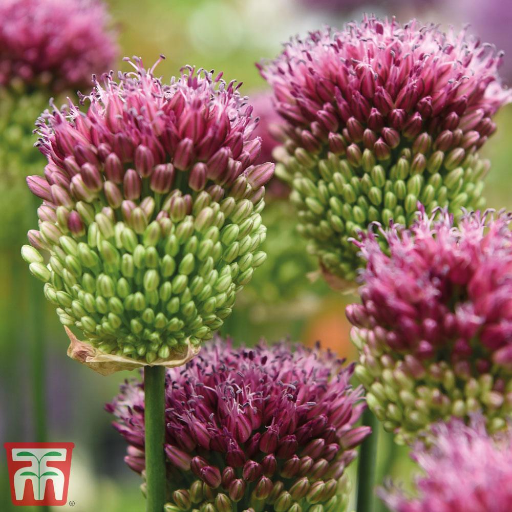 Image of Allium sphaerocephalon