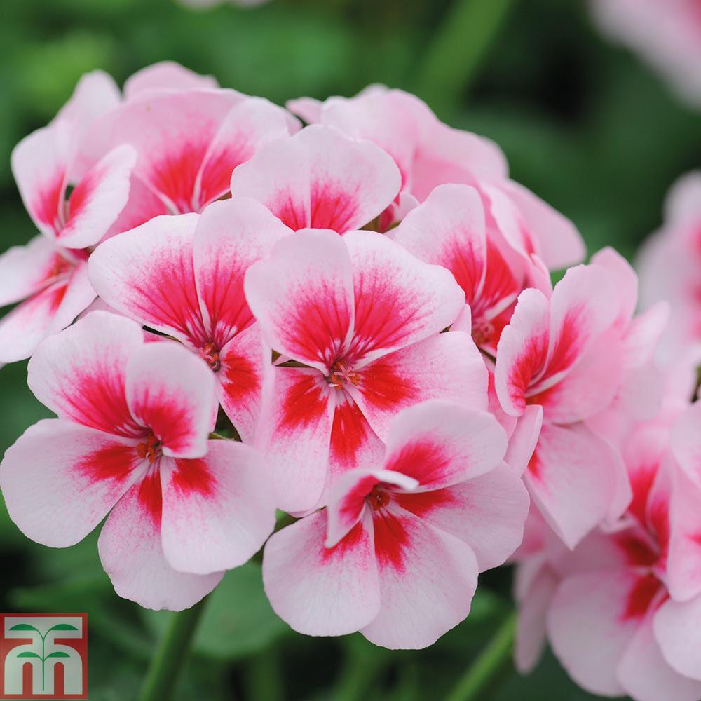 Pink geranium at thompson morgan mightylinksfo