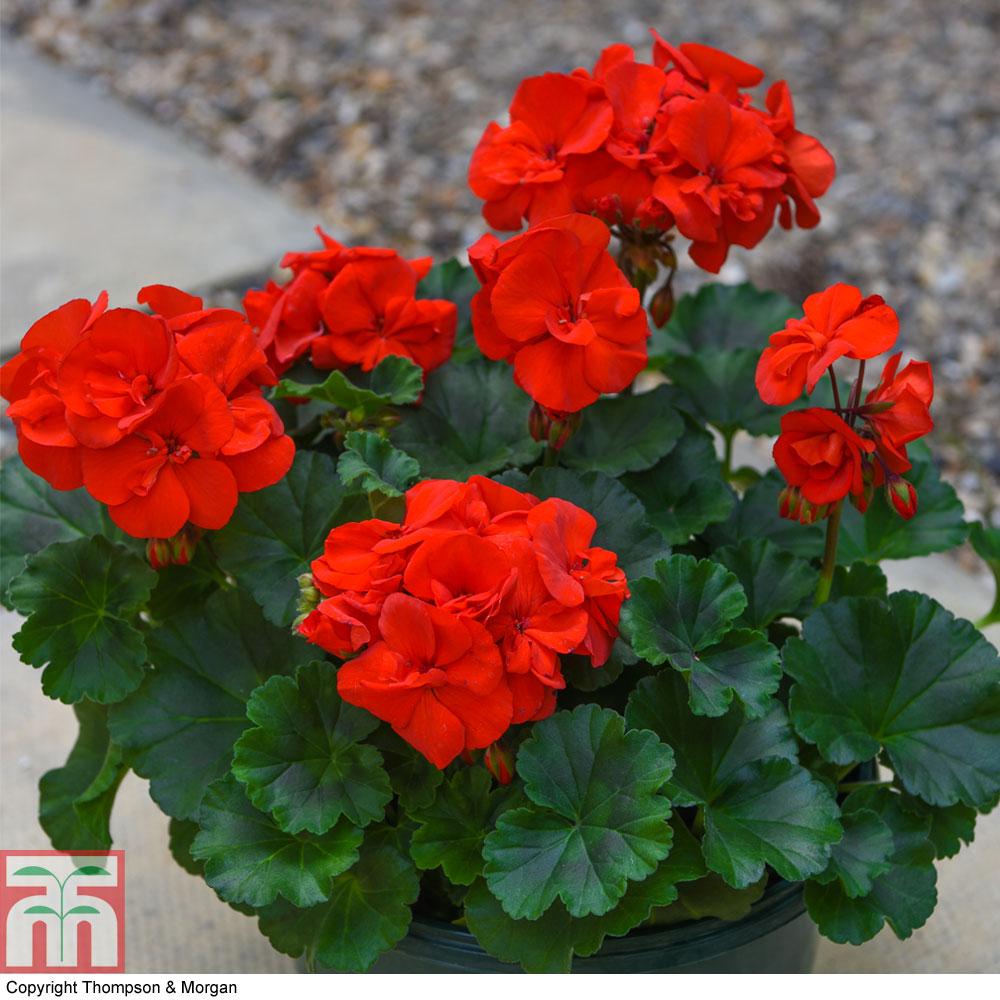 Image of Geranium 'Grandeur Power Red'