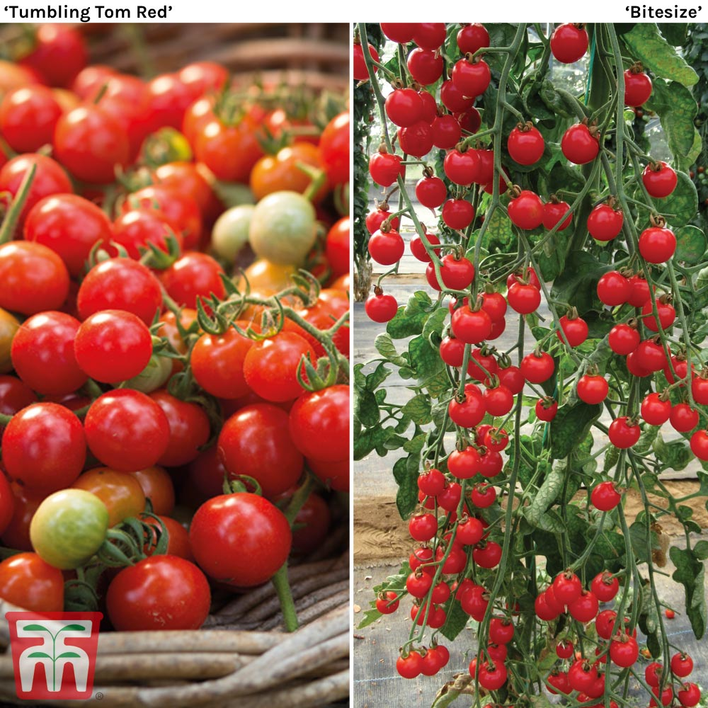 Image of Cherry Tomato Duo Collection