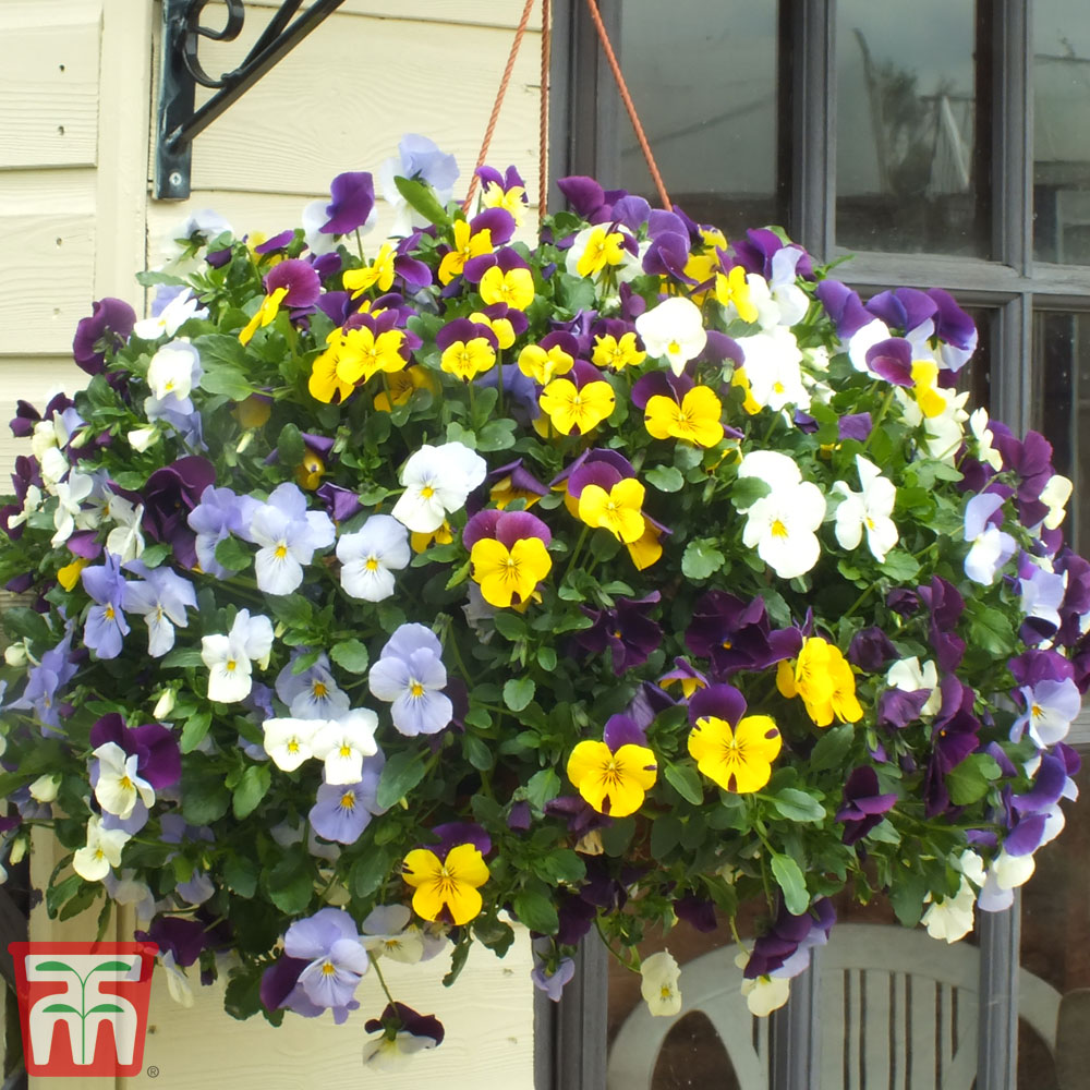 Image of Viola Pre-planted Hanging Basket
