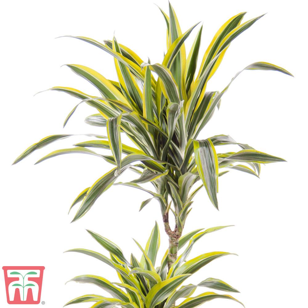 Image of Dracaena fragrans 'Yellow Coast' (House Plant)