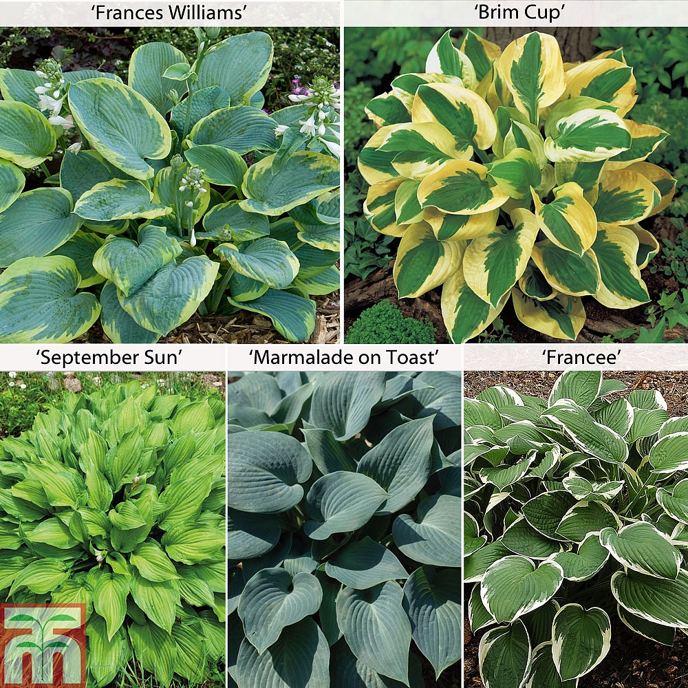 Image of Hosta Collection