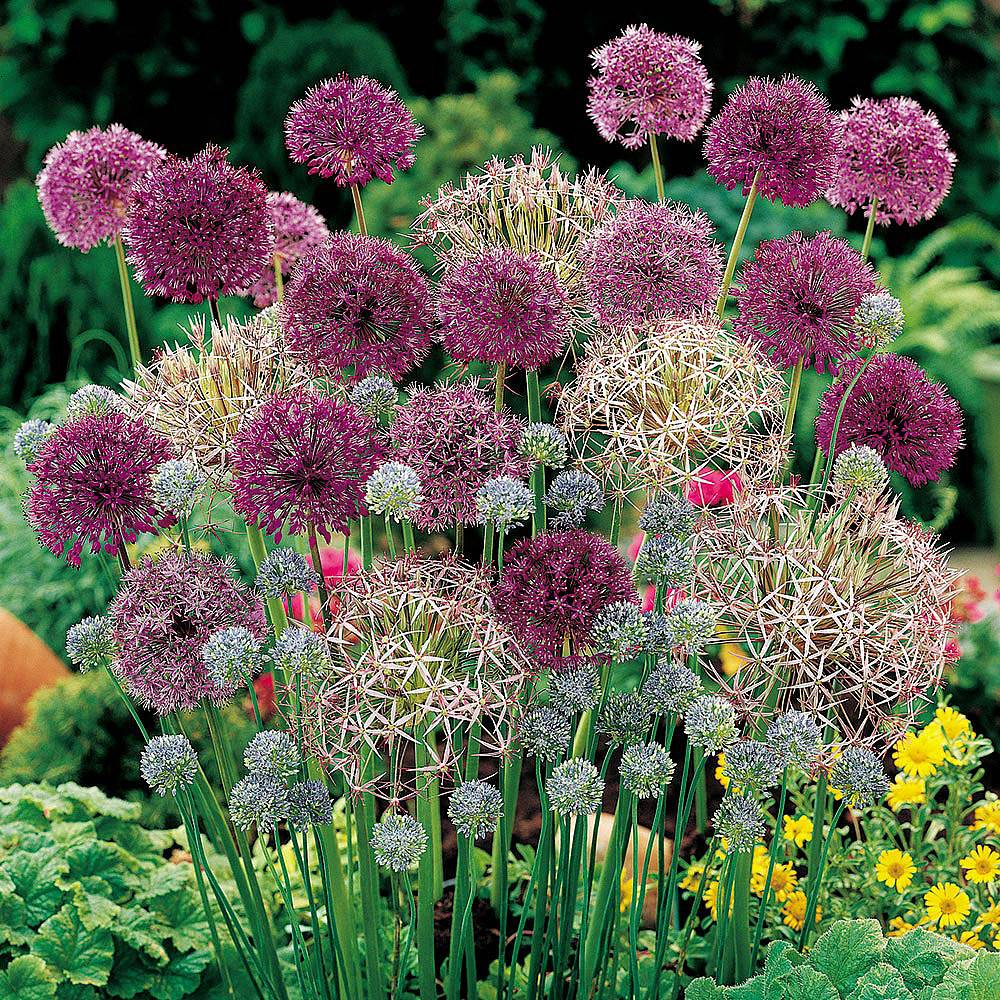 Image of Allium 'Lover's Collection'