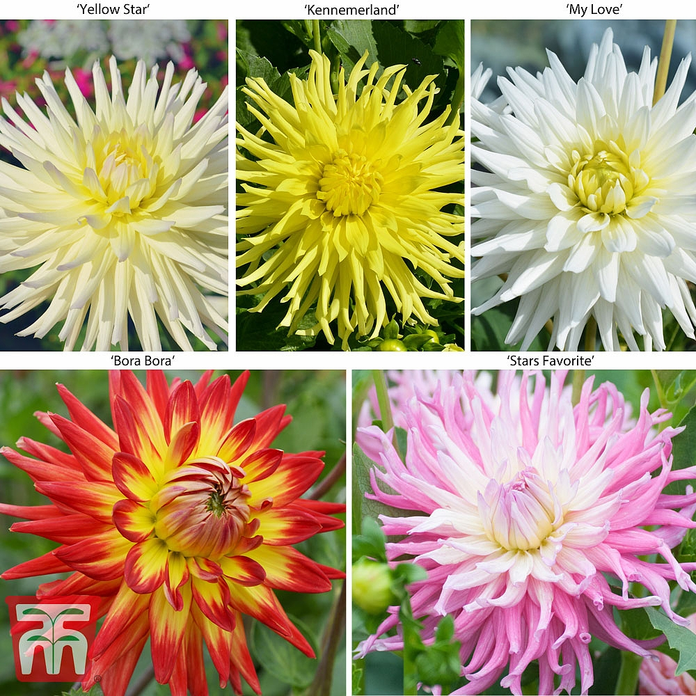 Image of Dahlia 'Cactus Collection' 5 or 10 Plants