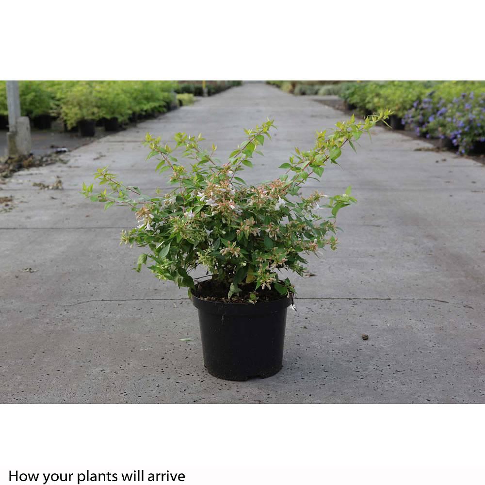 Abelia X Grandiflora Francis Mason Plants Thompson Morgan