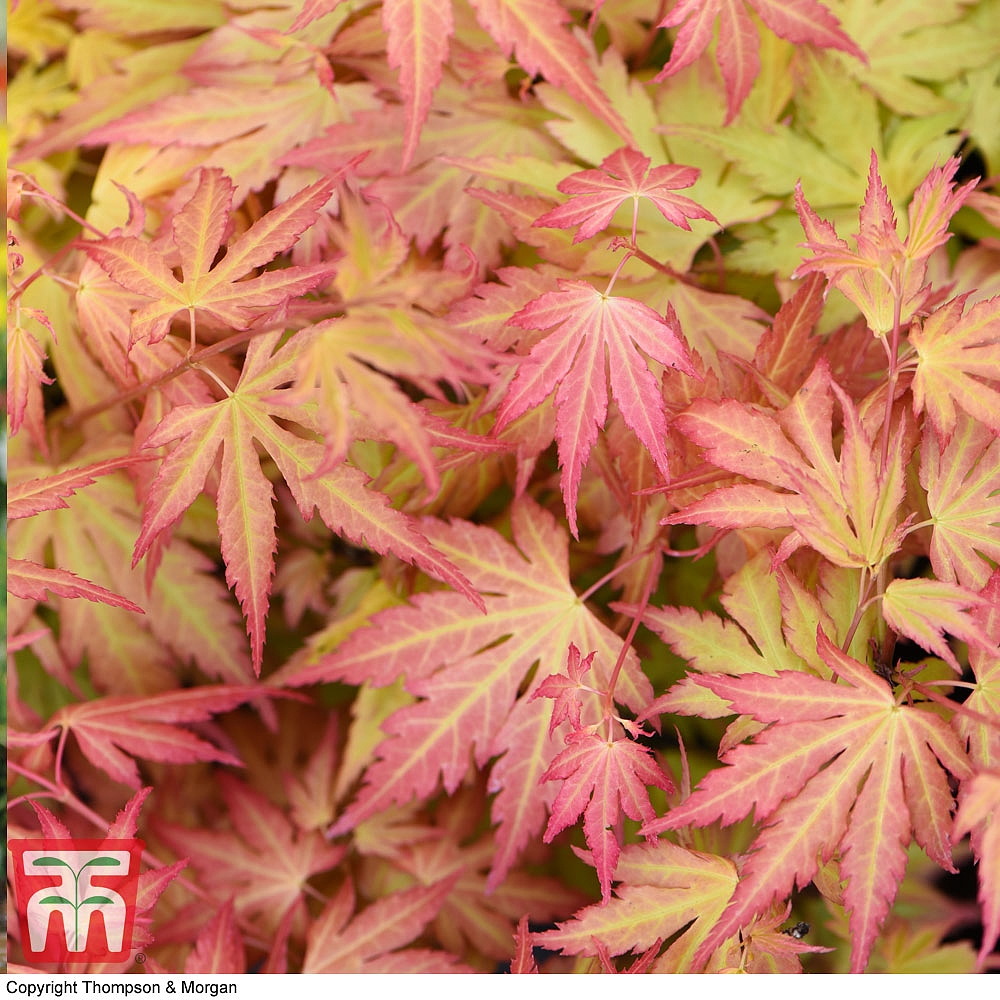 Acer Palmatum Orange Dream Plants Thompson Morgan
