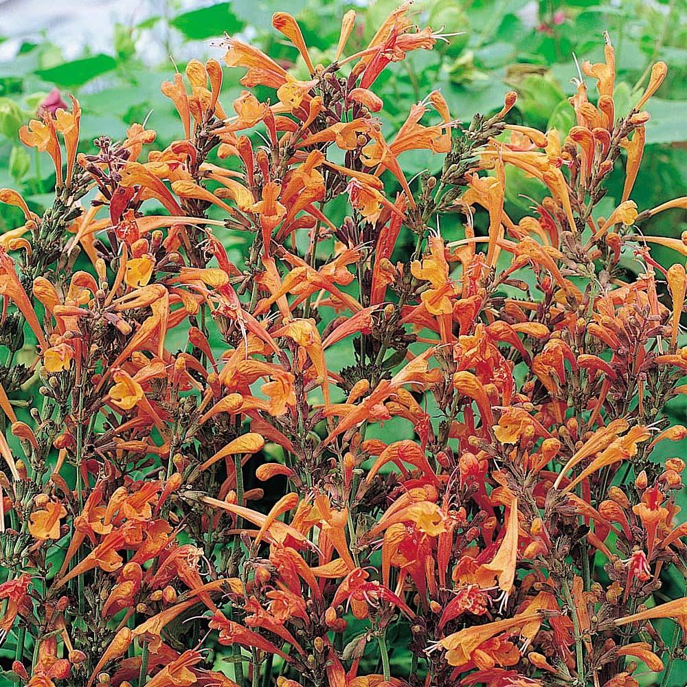 agastache aurantiaca 39 apricot sprite 39 seeds thompson. Black Bedroom Furniture Sets. Home Design Ideas