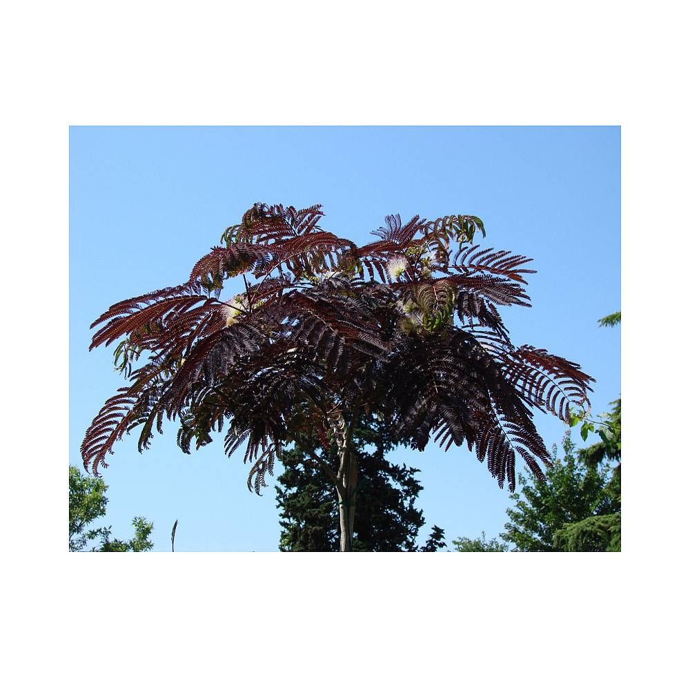 albizia julibrissin 39 summer chocolate 39 plants thompson. Black Bedroom Furniture Sets. Home Design Ideas