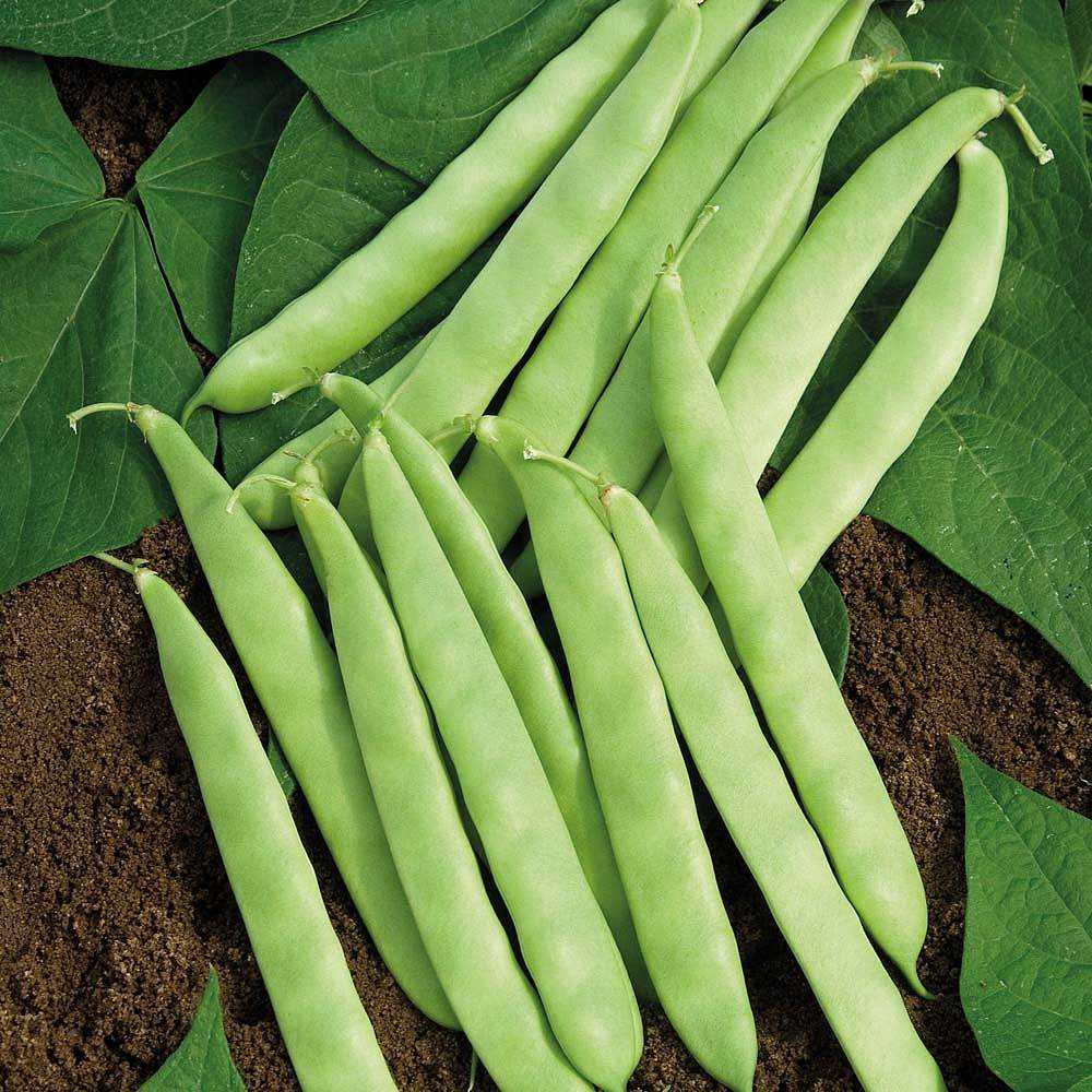 Dwarf Bean Dulcina Seeds Thompson & Amp Morgan
