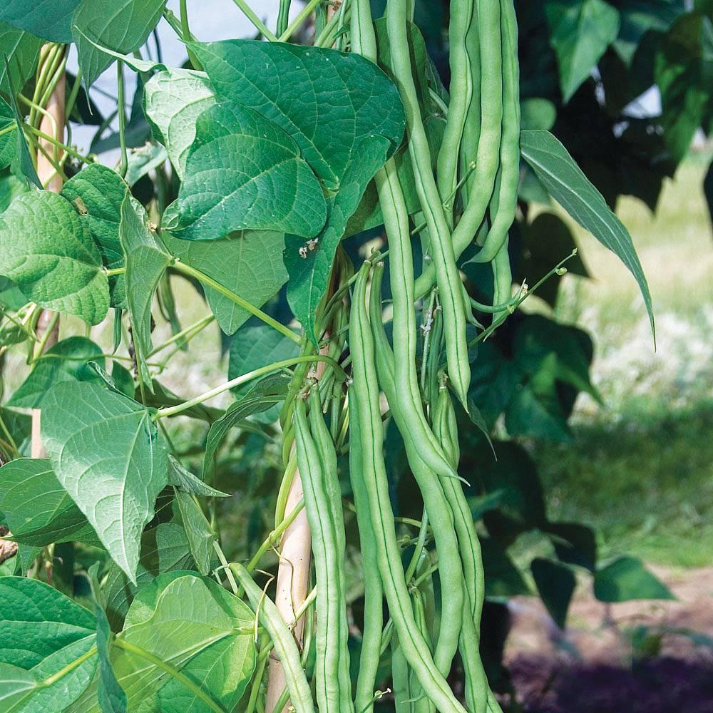 climbing bean 39 monte cristo 39 seeds thompson morgan. Black Bedroom Furniture Sets. Home Design Ideas