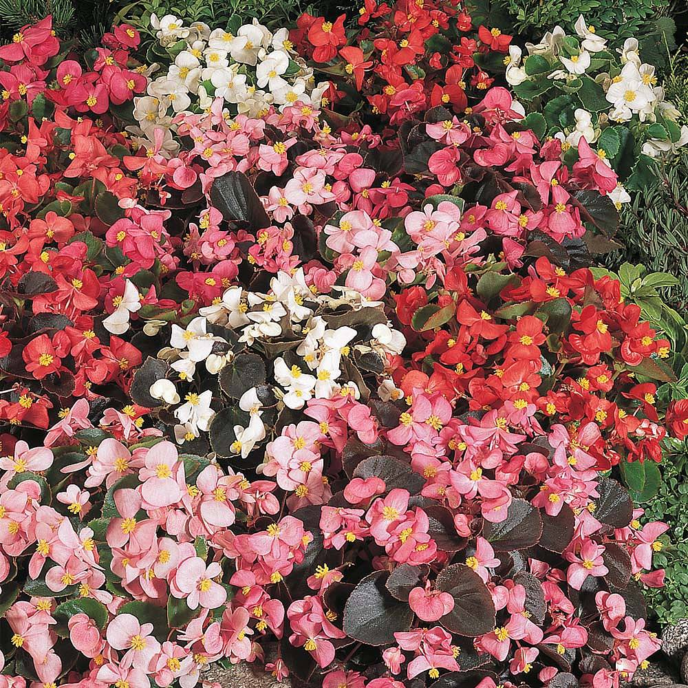 Begonia semperflorens 'Options Mixed' seeds | Thompson ...