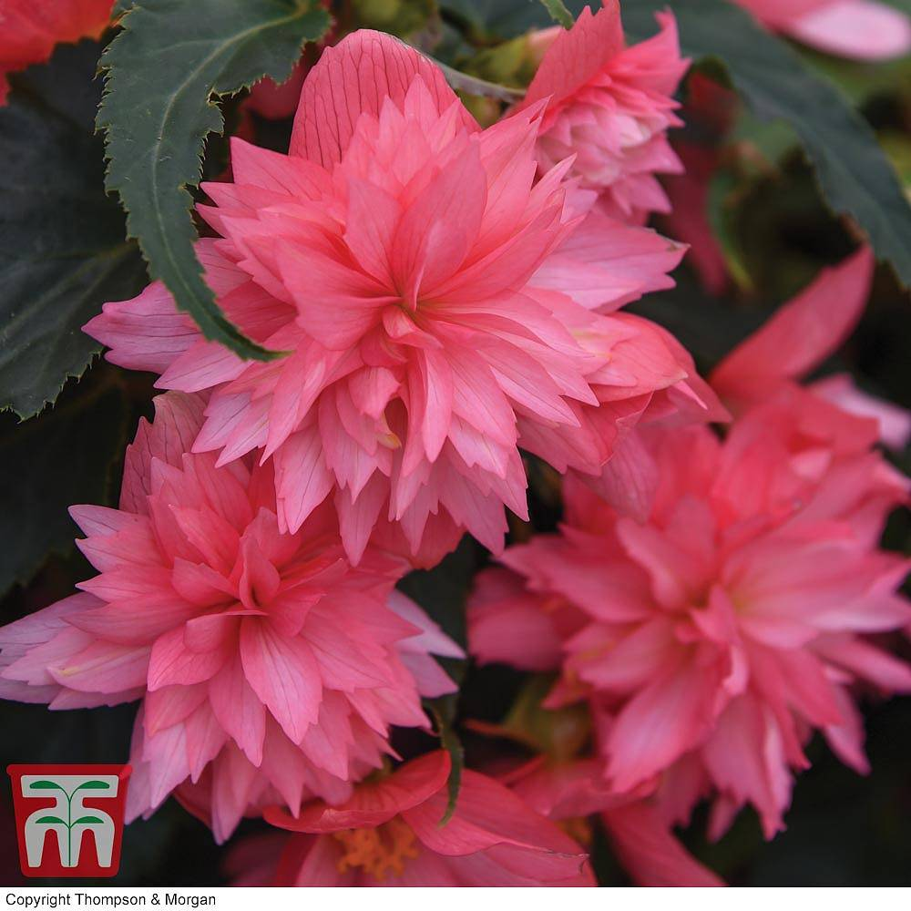 Begonia Funky Pink Thompson Morgan