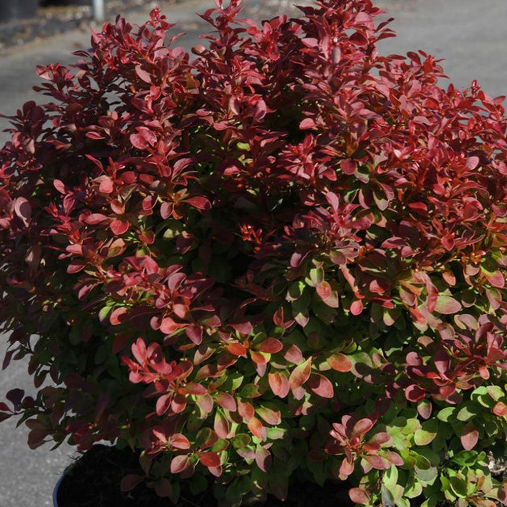 berberis thunbergii f atropurpurea 39 admiration 39 plants. Black Bedroom Furniture Sets. Home Design Ideas