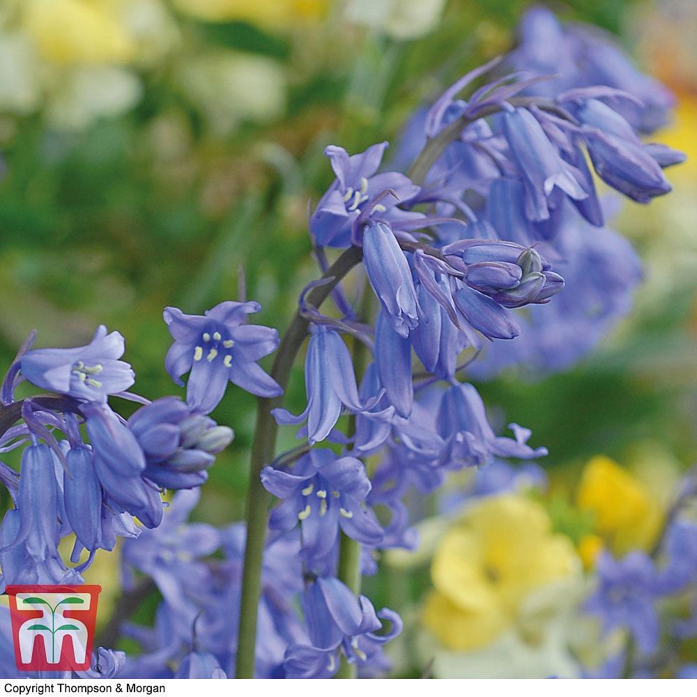 English Bluebells Thompson Morgan