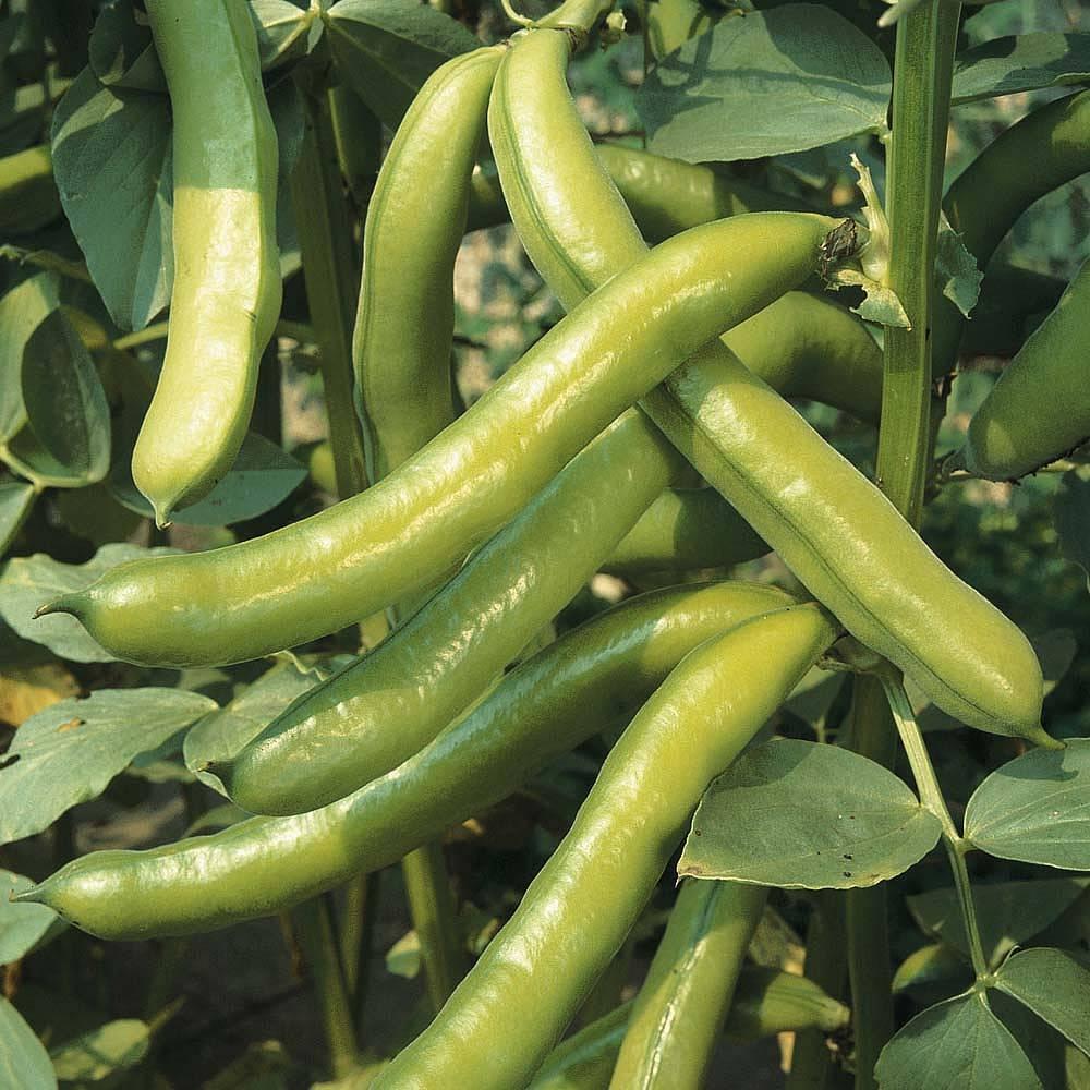 broad bean 39 imperial green longpod 39 seeds thompson morgan. Black Bedroom Furniture Sets. Home Design Ideas