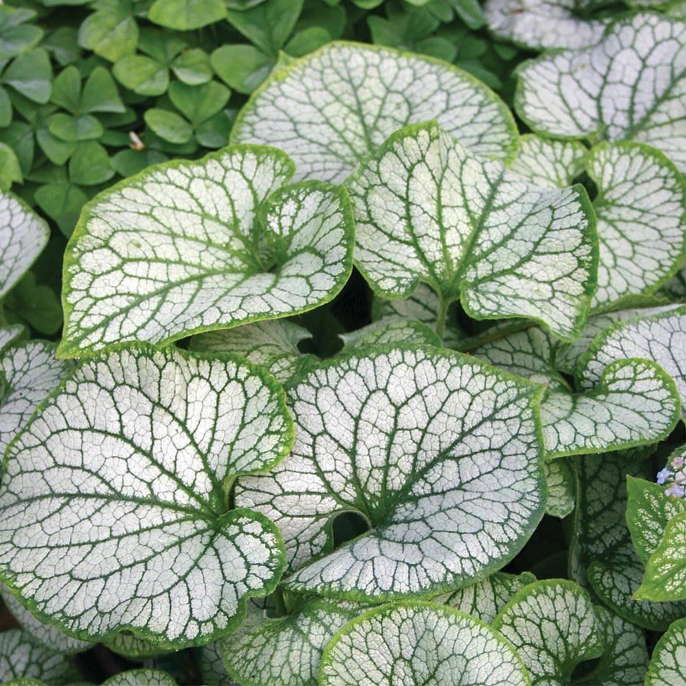 brunnera macrophylla 39 jack frost 39 plants thompson morgan. Black Bedroom Furniture Sets. Home Design Ideas