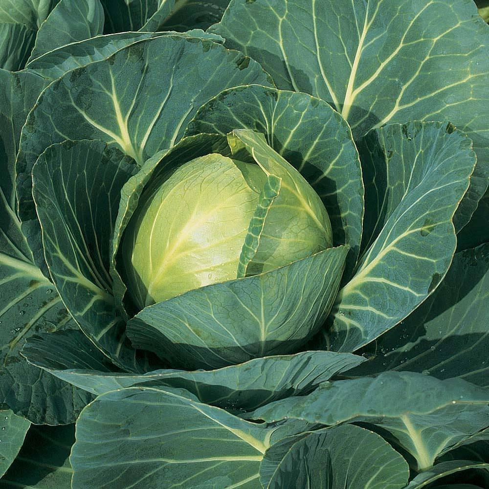cabbage 39 minicole 39 f1 hybrid autumn seeds thompson. Black Bedroom Furniture Sets. Home Design Ideas