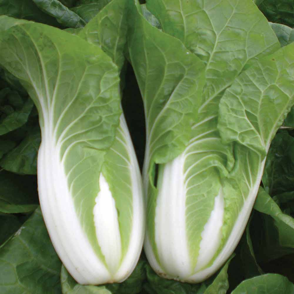 Cabbage Chinese Natsuki Seeds Thompson Amp Morgan