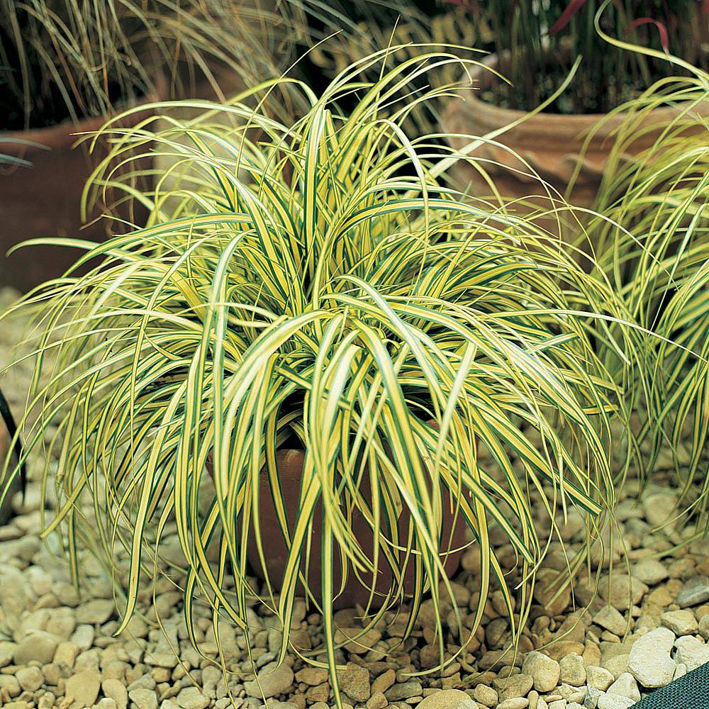 Carex Oshimensis 'Evergold' Plants