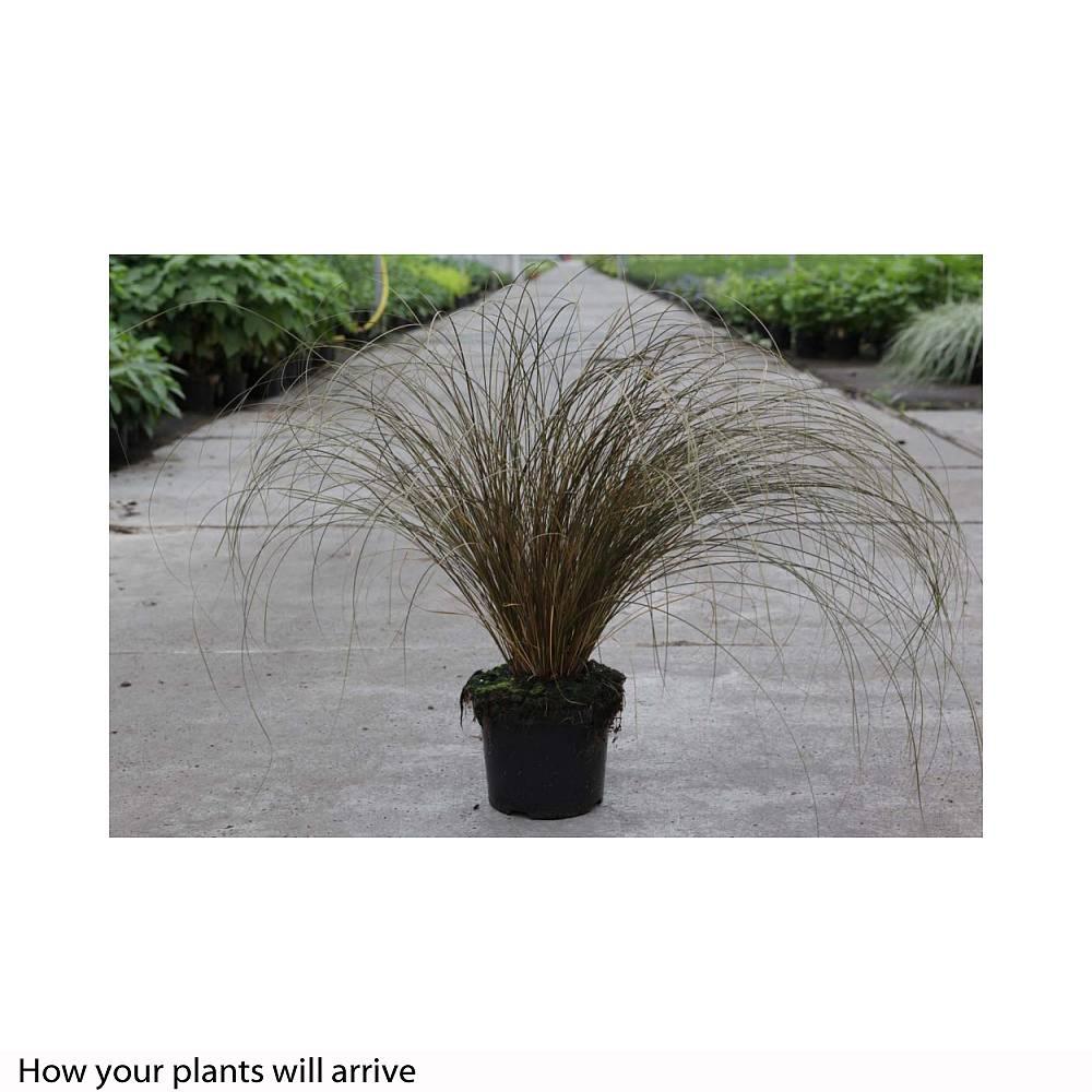 Carex Bronze Reflection – usblife.info