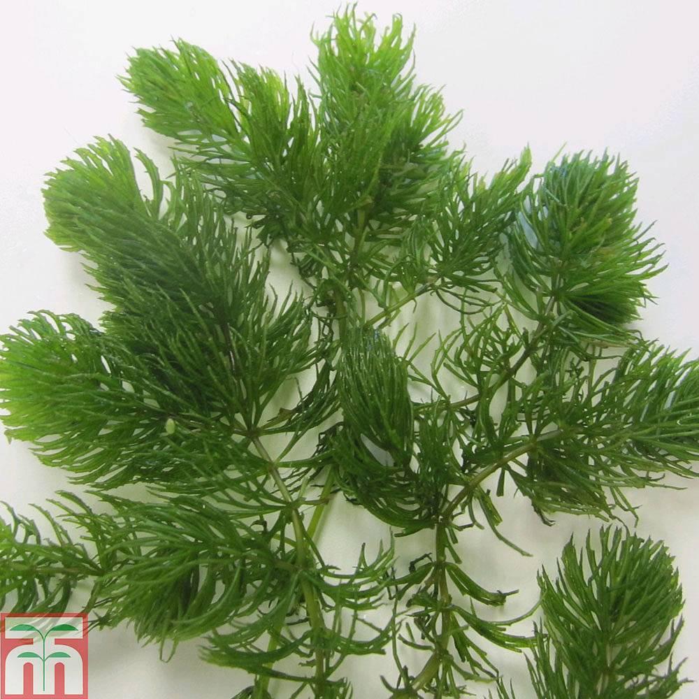 Aquatic Plants For Small Ponds: Ceratophyllum Demersum (Oxygenating Aquatic)