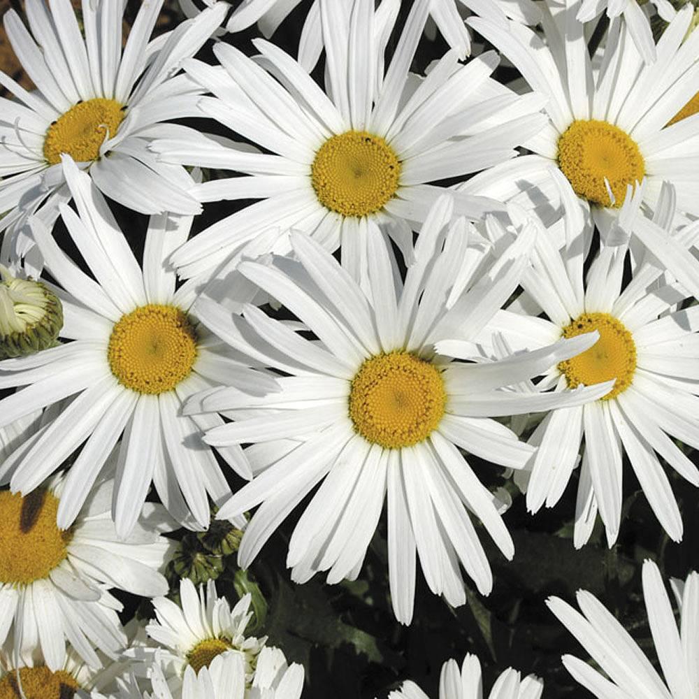 Shasta daisy white knight thompson morgan shasta daisy white knightleucanthemum x superbumchrysanthemum maximum white knight izmirmasajfo