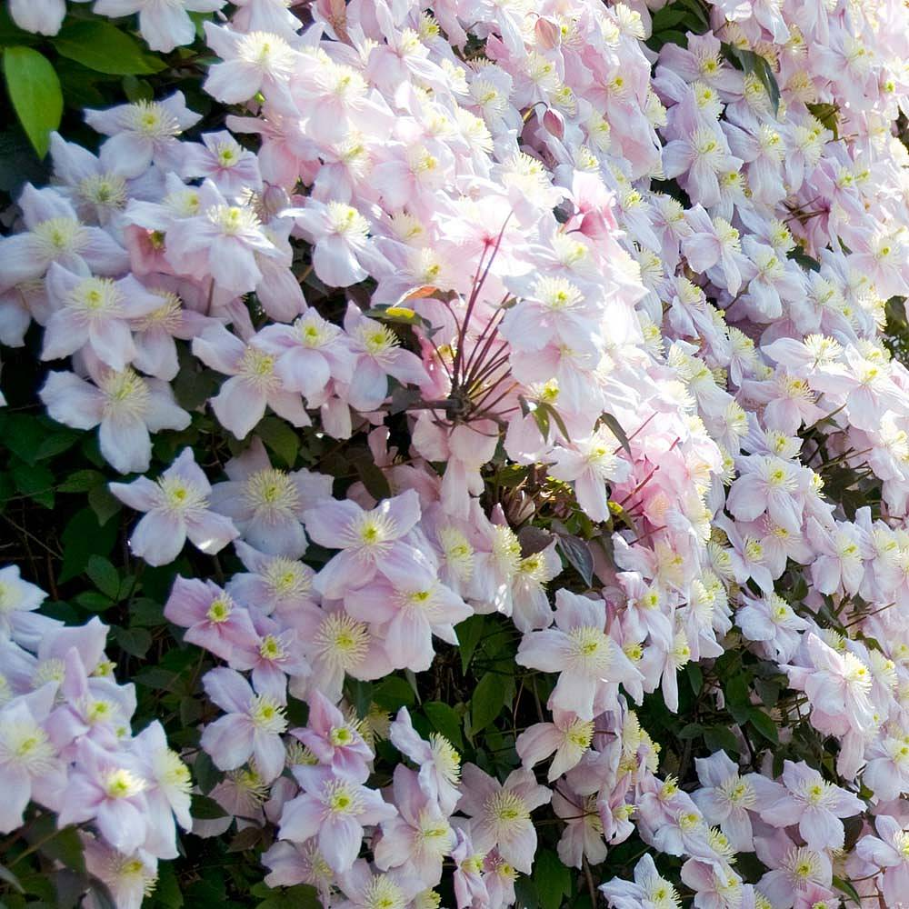 Scented Climbers Thompson Morgan