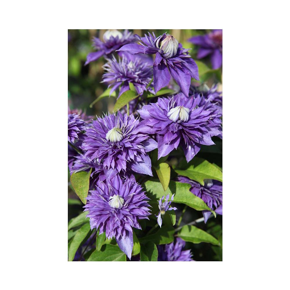 clematis 39 multi blue 39 plants thompson morgan. Black Bedroom Furniture Sets. Home Design Ideas
